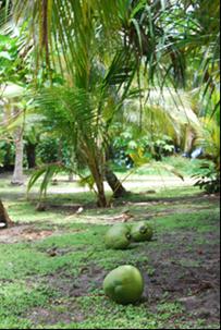 23.coconuts.png